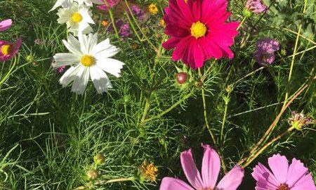 Sensation Mix Cosmos Flower Seeds - 4 Oz - Annual Flower Garden Seeds - Multicolor Blend - Cosmos bipinnatus